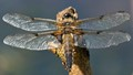 4 Spotted Chaser Wingspan
