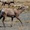 Mountain Sheep at Vantage-20160926-0011