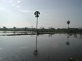 Palm trees reflected in rice fields.