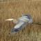 2-16-14 #461 heron (1 of 1)