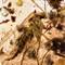 2017 Amber 053 April Diptera Nematocera I