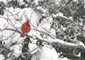 Cardinal on a Snowy Branch