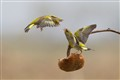 Greenfinches fight
