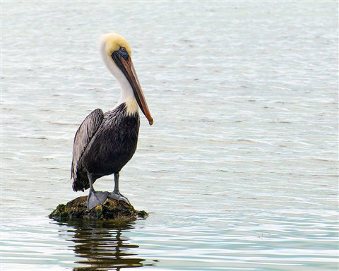 Brown Pelican at Key Largo Florida (Pelecanus occidentalis)