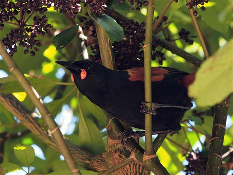 Saddleback feeding on fruit of the Five-Finger