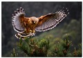 Red Shouldered Hawk 12
