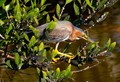 Green heron perched on a branch concentrating on catching fish below