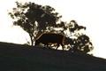 Backlit bovine