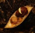 Moreton Bay chestnut