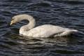 Juvenile Whooper Swan