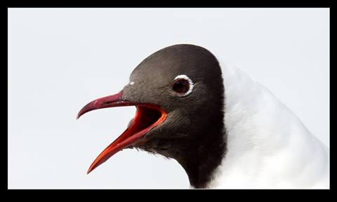 Black_headed_Gull-(Chroicocephalus_ridibundus)