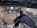 quartet of hungry swallows