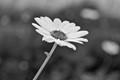 Autumn Daisy . . .