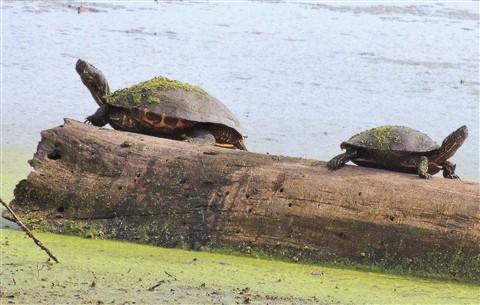 Turtle, Turtle