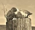 Sheep Skull in Sepia.