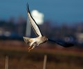 Norther Harrier in afternoon lighting