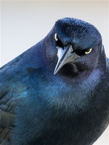 Grackle staring