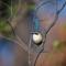 Variegated Fairy-wren Eclipse maleDSC_7497