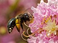Bumblebee In the Crepe Myrtle