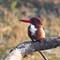 White Throated Kingfisher: OLYMPUS DIGITAL CAMERA