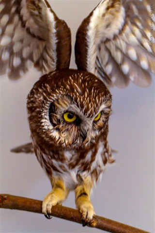 Saw Whet Owl _MG_1415