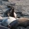 elephant_seals-1
