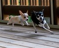 Monster puppy in pursuit of older brother