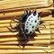 Spinybacked Orbweaver (Gasteracantha cancriformis)-002
