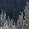 TreesWithSnow-