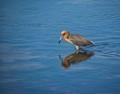Reddish Egret Reflection
