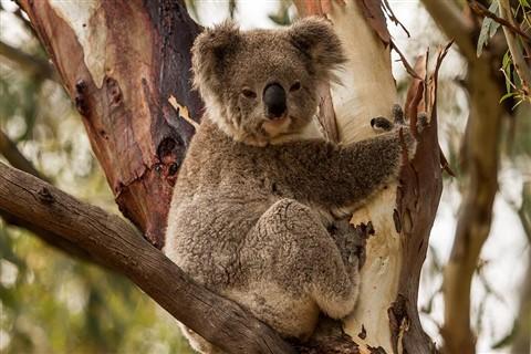 Naranderra Koala email edition  004
