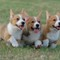 corgi-puppies-21
