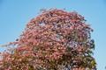 Pink Poui 2