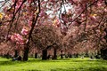 Spring celebration under Cherry blossoms - Sceaux Parc- Paris