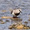 3197MagellanicPlover