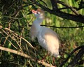Cattle Egret in Mating Plumage