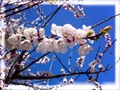 Apricot flowers