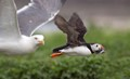 Herring Gull sneaks into Puffin Picture