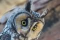 Long-eared Owl keeping an eye on things