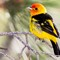 Western Tanager-51