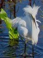 Snowy Egret,  Breezy Day