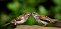 Cape sparrows2
