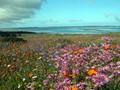 Western Cape Flowers
