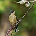 Juvenile Eastern Spinebill