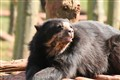 Andean Bear enjoying the Sun