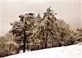 Shropshire pines