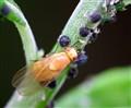 TELE - Fruitfly