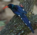 Green Wood-Hoopoe