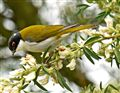 Red Browed Honey Eater