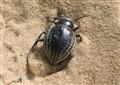 sand beetle